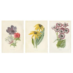 Set of Three Botany Prints Poppy Anemone, Rudbeckia, Cineraria