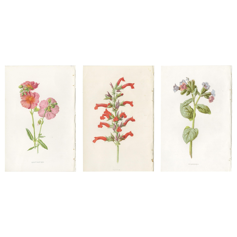 Set of Three Botany Prints Rose, Salvia, Pulmonaria