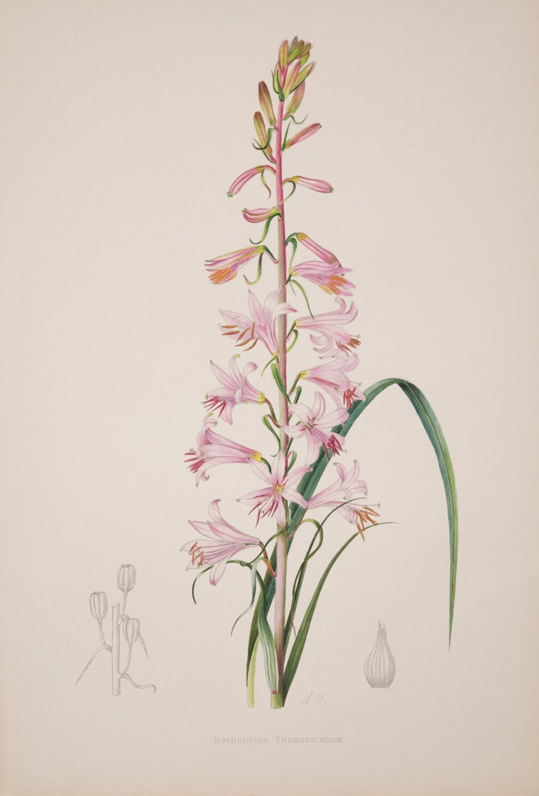 A rare set of twelve of exceptional quality 19th century botanical prints from A Monograph of the Genus Lilium, London: Taylor and Francis, 1877-1880.