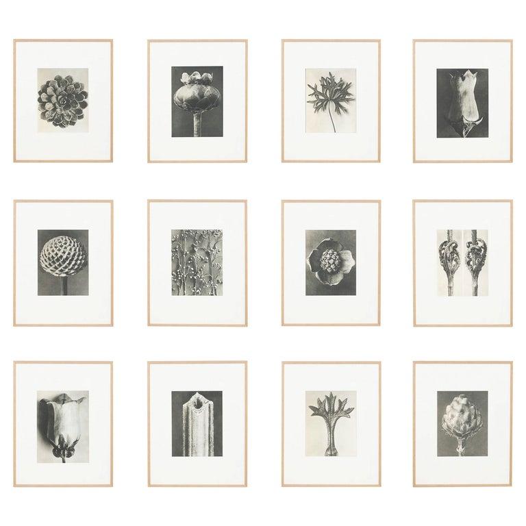 Karl Blossfeldt set of 12 black-and-white botanic photogravures, 1942