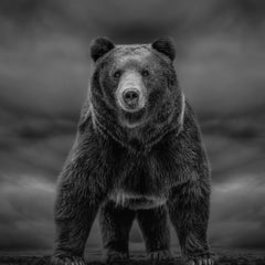 12x12  Black and White Photography of a Kodiak ,Grizzly Bear Fine Art Photograph