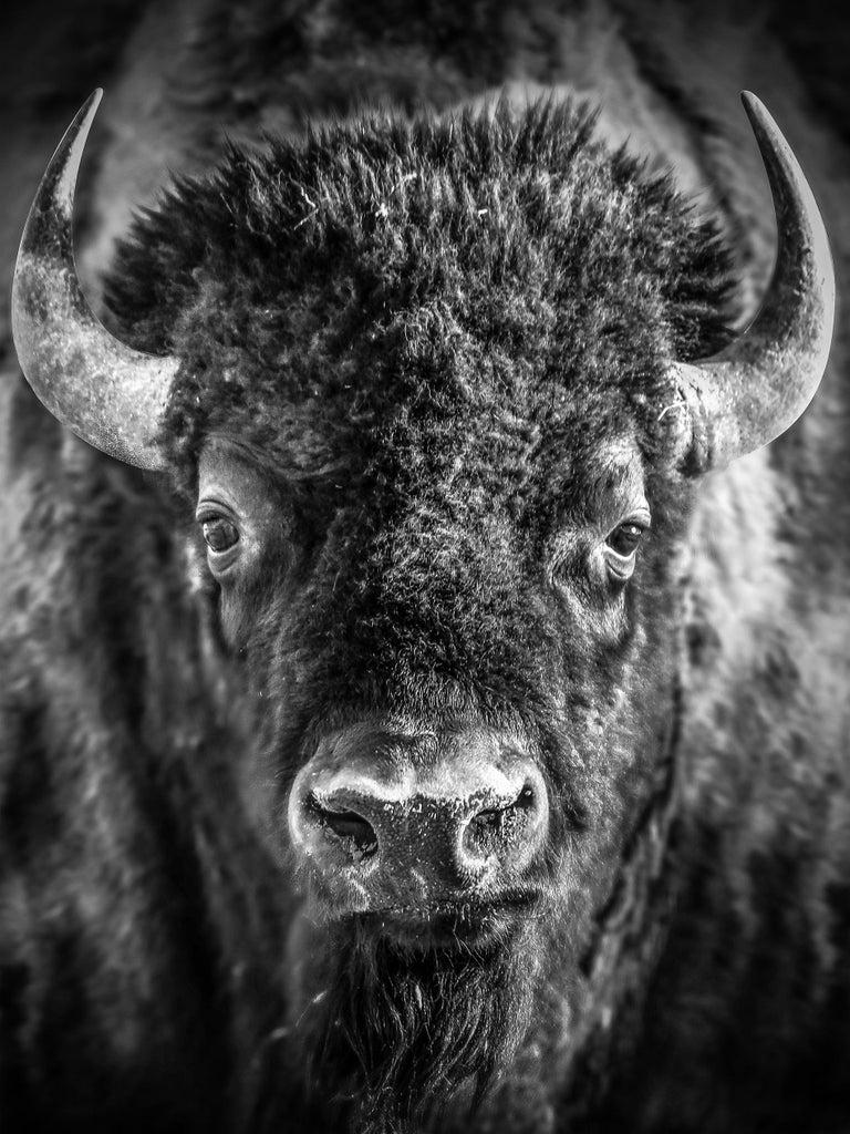 "Shane Russeck Animal Print - ""Bison Portrait"" 36x48 - Black & White Photography, Bison, Photograph"