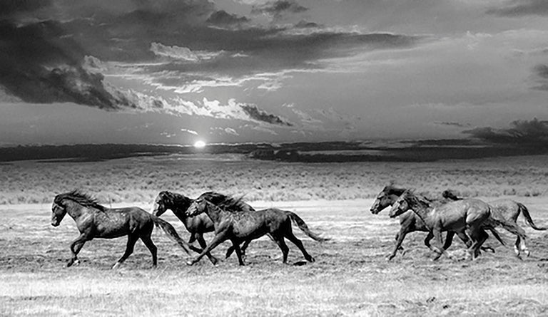 This is a contemporary black and white photograph of Northern California Wild Mustangs.