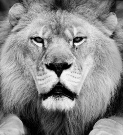 """Face Off"" 36x48  - Black & White  Fine Art Photography, Lion Photograph Africa"
