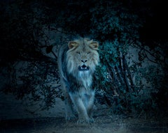 """""""From the Bush"""" 40x40 - Lion  Photography,Photograph, Fine Art, Africa"""