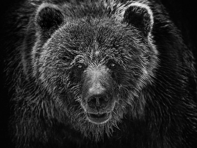 """Shane Russeck Animal Print - """"Grizzly Portrait"""" 36x48 - Black and White Photograph of a Grizzly Bear"""