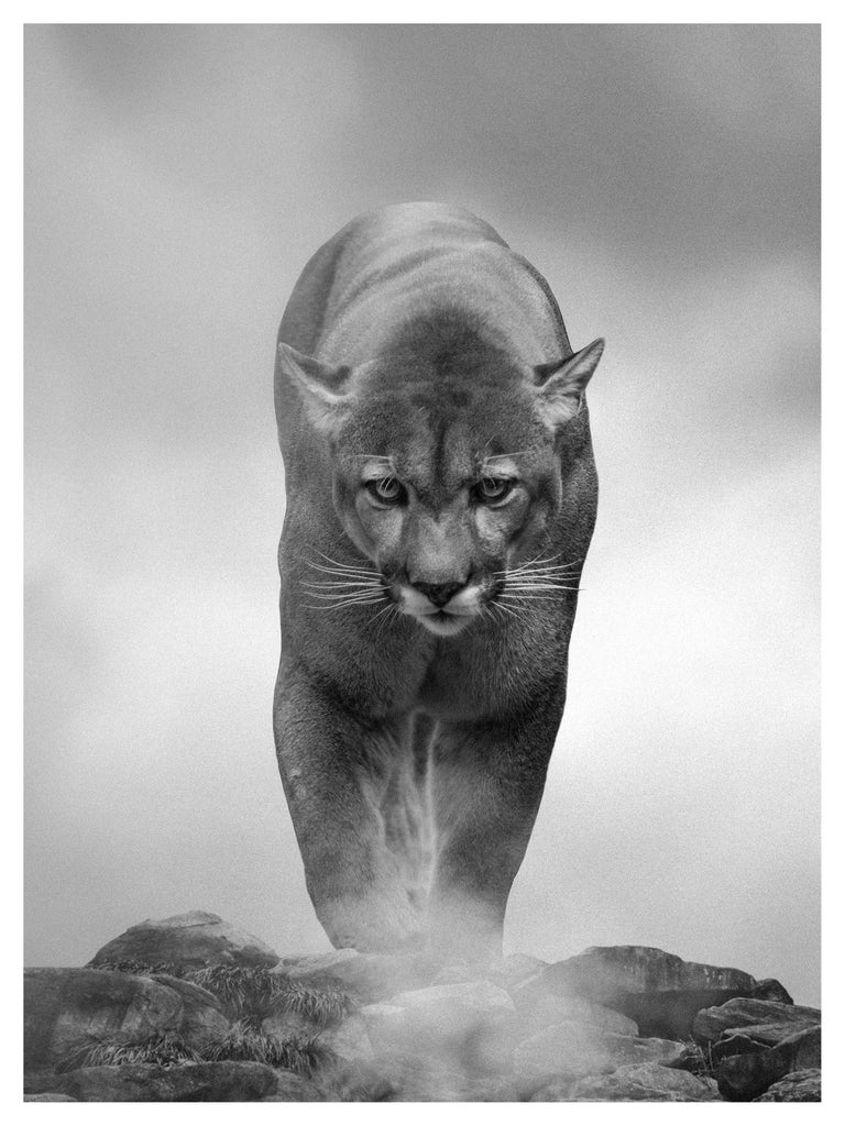 "Shane Russeck Black and White Photograph - 1stdibs SPECIAL PRICE ""King of the Mountain"" 36x48 B&W, Mountain Lion"