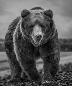 Kodiak Beach 36x48  Black & White Photography, Kodiak Bear Wildlife Photograph