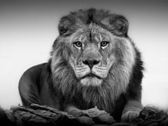 """Lion Portrait""- 20x30 Framed Africa Lion  Black & White Photography Fine Art"
