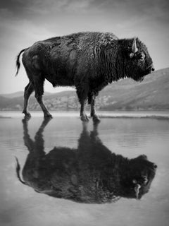 """""""Old World"""" 40x60  Black & White Photography Bison Buffalo by Shane Russeck"""