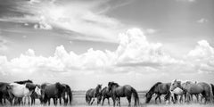 """""""On Any Sun"""" 50x24 - Black & White Photography, Wild Horses, Mustangs"""
