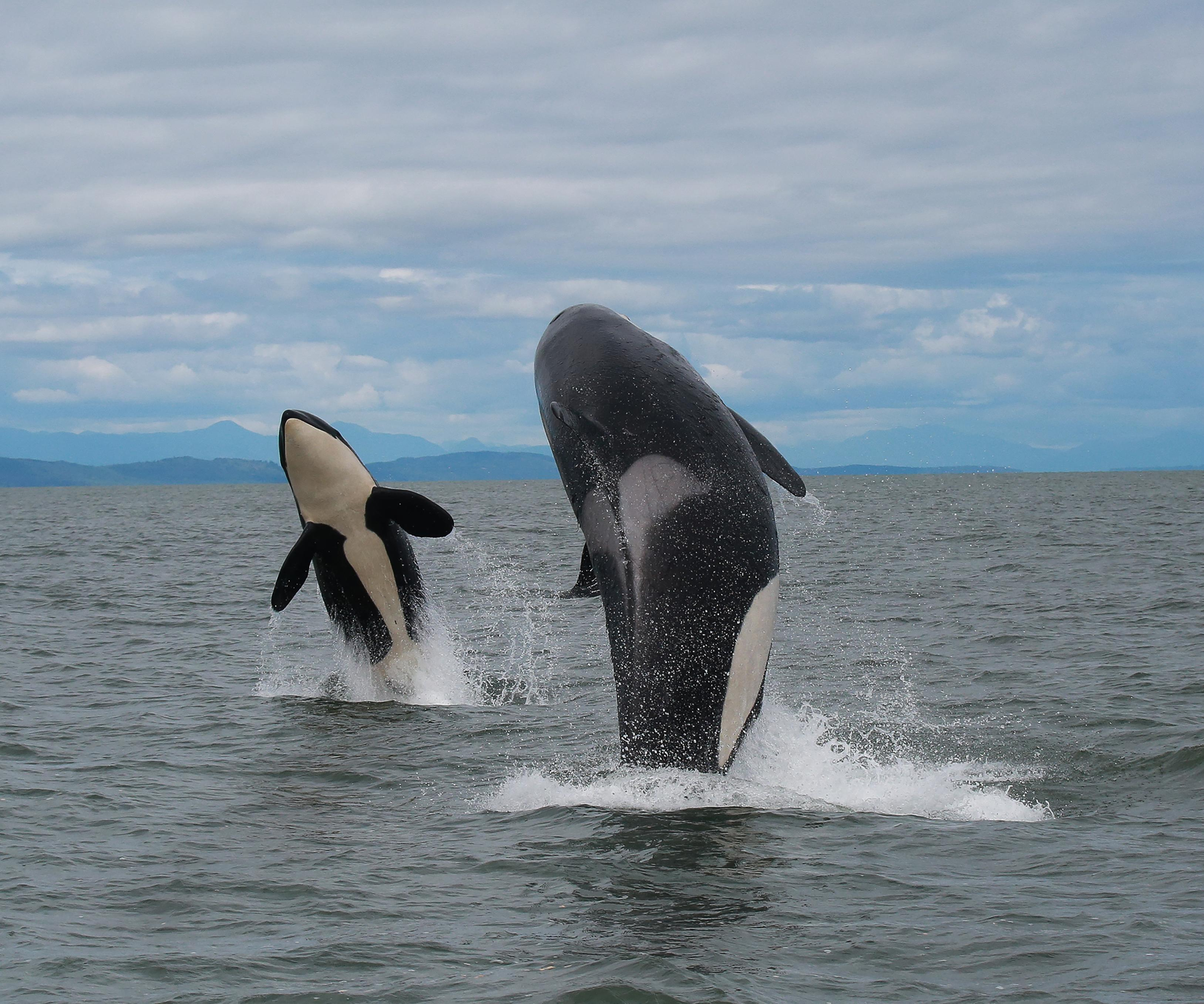 """""""Orca Double Breach""""  20x30- Killer Whale Photography by Shane Russeck"""