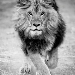 Panthera Leo - 12x12  Black and White Photography, Lion Photograph Africa