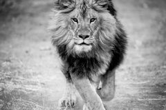 Panthera Leo - 40x60 Black and White Lion Photography , Africa, Lion Photograph
