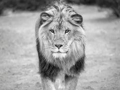 """Regal"" 36x48 - Black & White Photography, Lion Photography Art Photo"