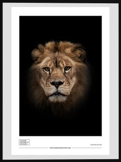 Shane Russeck Gallery Exhibition Poster- Lion Photograph