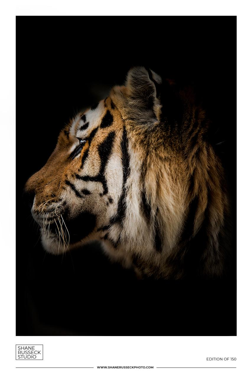 Shane Russeck Gallery Exhibition Poster- Tiger Fine Art Photography