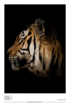 Shane Russeck Gallery Exhibition Poster- Tiger Photograph