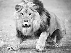 """""""The Charge"""" 50x60 - Black & White Photography, Lion Photograph, Unsigned Print"""
