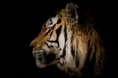 """""""Tiger Portrait"""" - 36x48 Photography Wildlife Art Unsigned by Shane Russeck"""