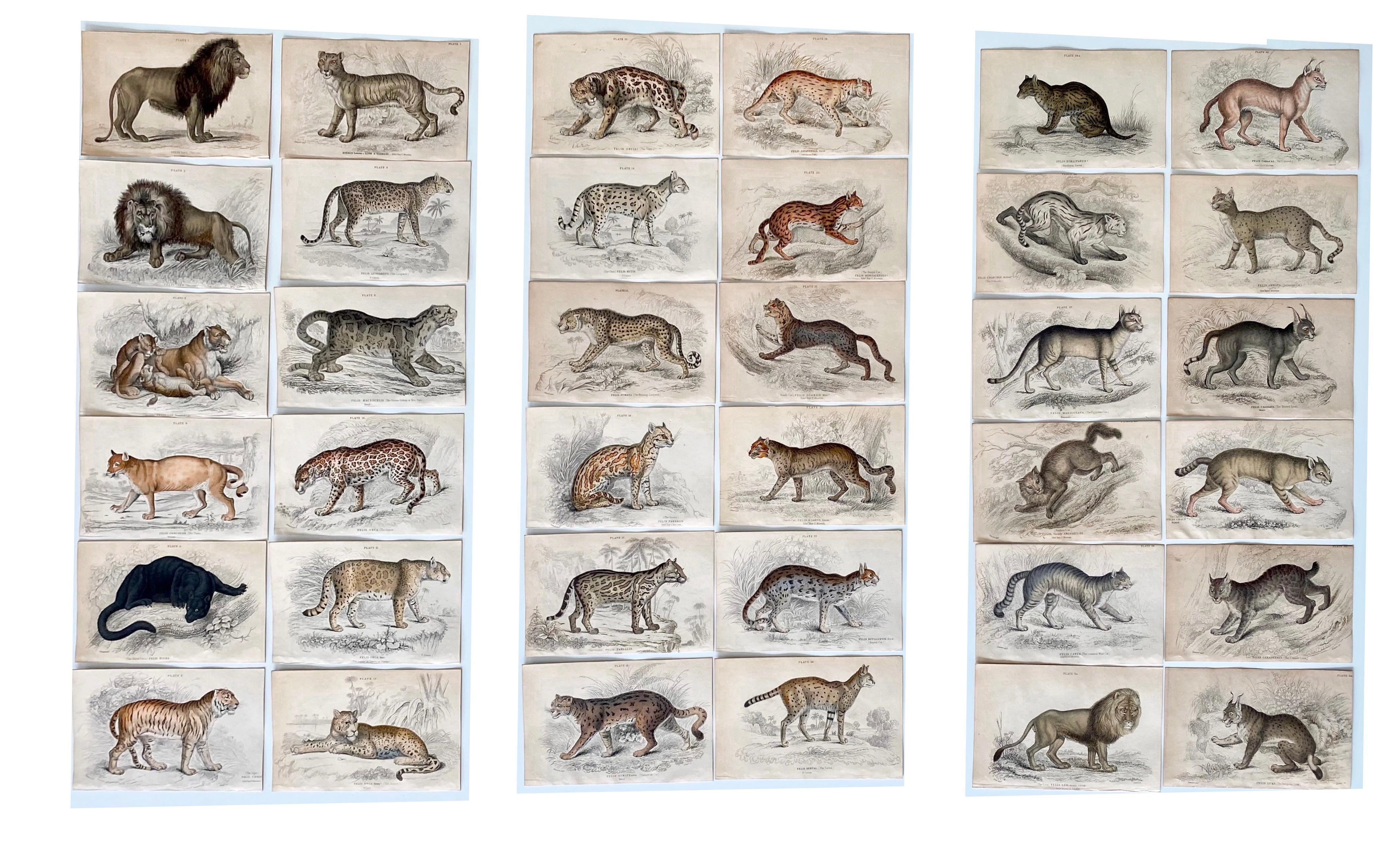Antique Prints of Rare Felines - Big Cats - Exotic Tropical Lion Tiger Puma