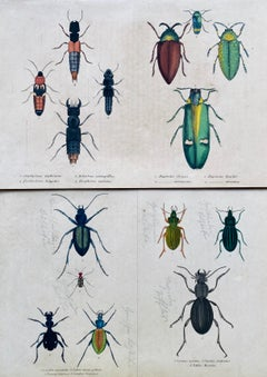Beetles Antique Hand Coloured Print - Tropical Exotic Rare beetle insects