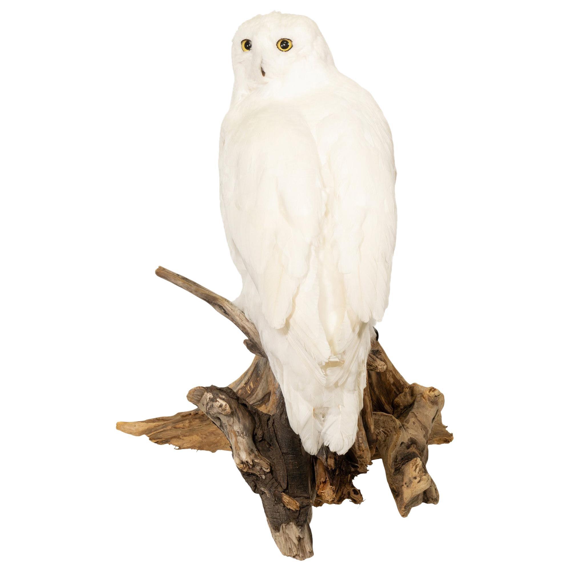 """Snowy Owl"" Driftwood Mount"