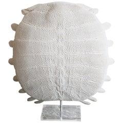 Softshell Turtle Dogania Subplana Specimen