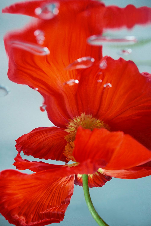 Flower, Red, Freshness