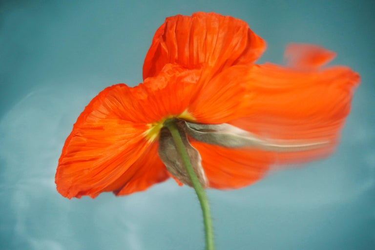 Sophie Delaporte Color Photograph - Flowers#02, flowers, red, freshness, water