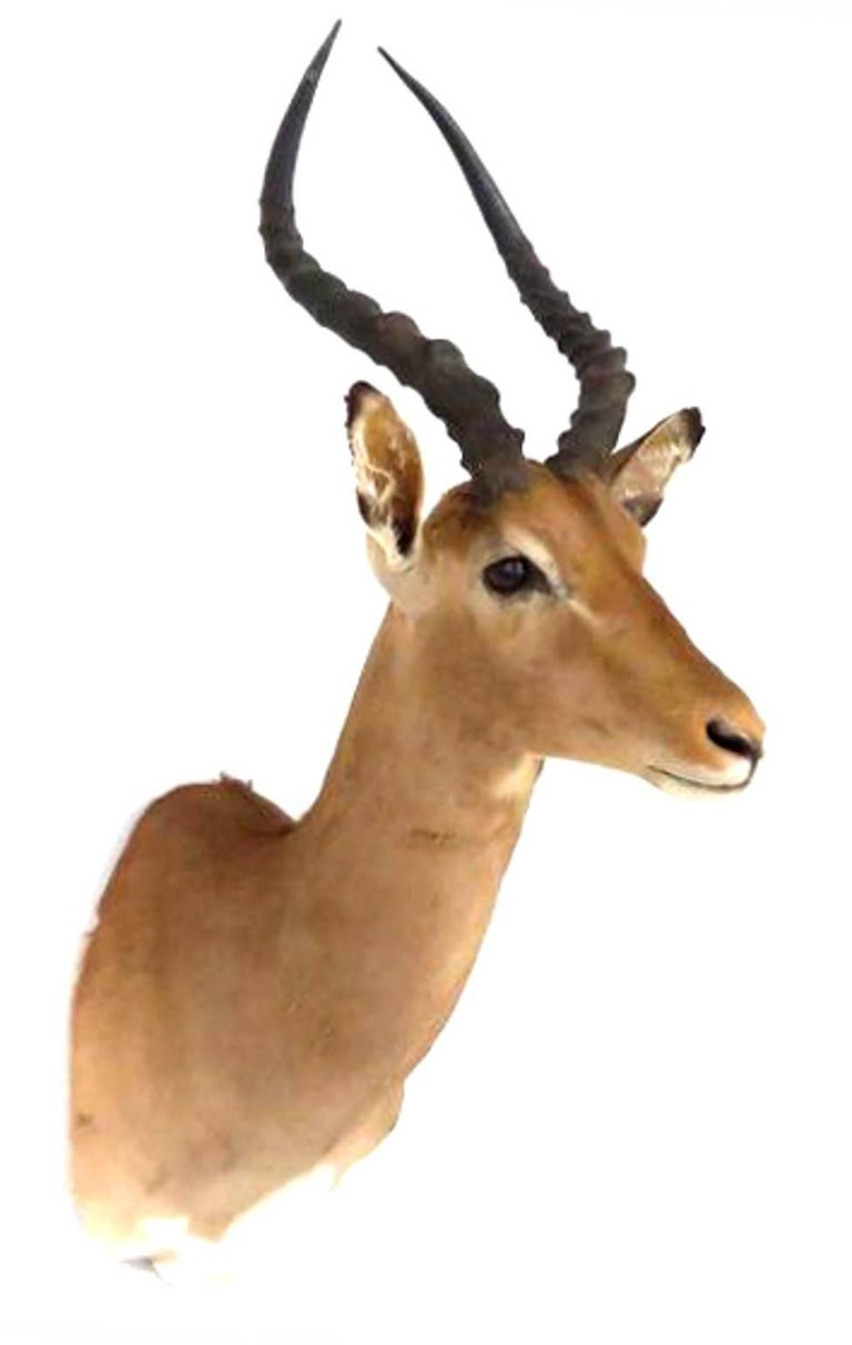 This is an incredible African Impala taxidermy shoulder mount, posed in an upright position looking straight out into the room. This piece features lovely thick, soft hair, expert taxidermy craftsmanship, and an incredible set of horns.