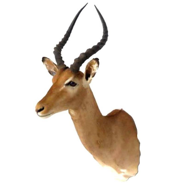 South African Impala Shoulder Mount For Sale