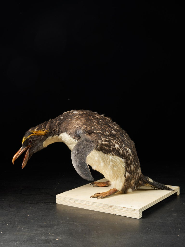 The Macaroni bird his fur is less spotted than the other one and its tale is more spread out than the Sauteur bird. Another big difference is the details on the head. Both penguins are characterized by egrets, which are yellow feathers above the