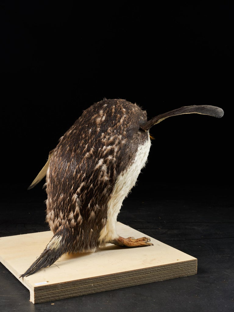 Southern Rockhopper Penguin 'Eudyptes chrysocome', NL In Good Condition For Sale In Leuven , BE