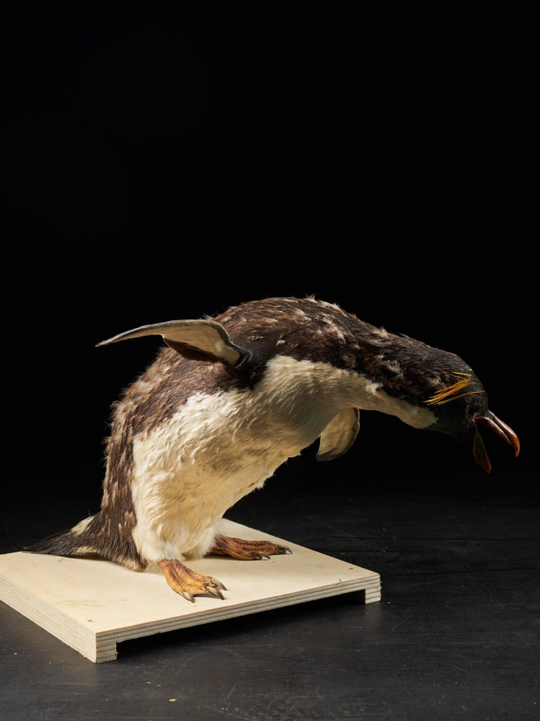 Late 20th Century Southern Rockhopper Penguin 'Eudyptes chrysocome', NL For Sale