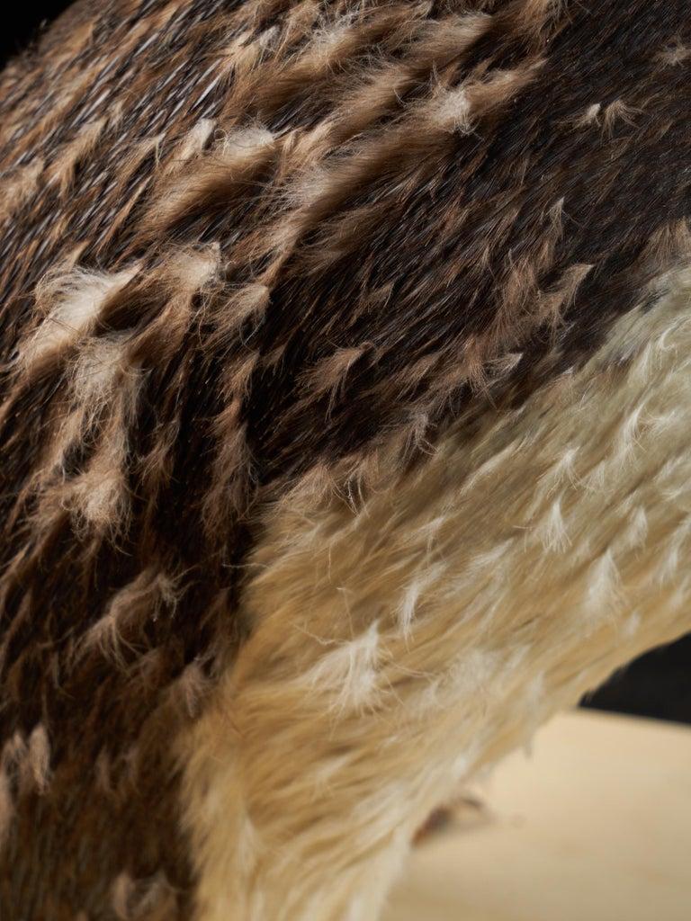 Southern Rockhopper Penguin 'Eudyptes chrysocome', NL For Sale 3