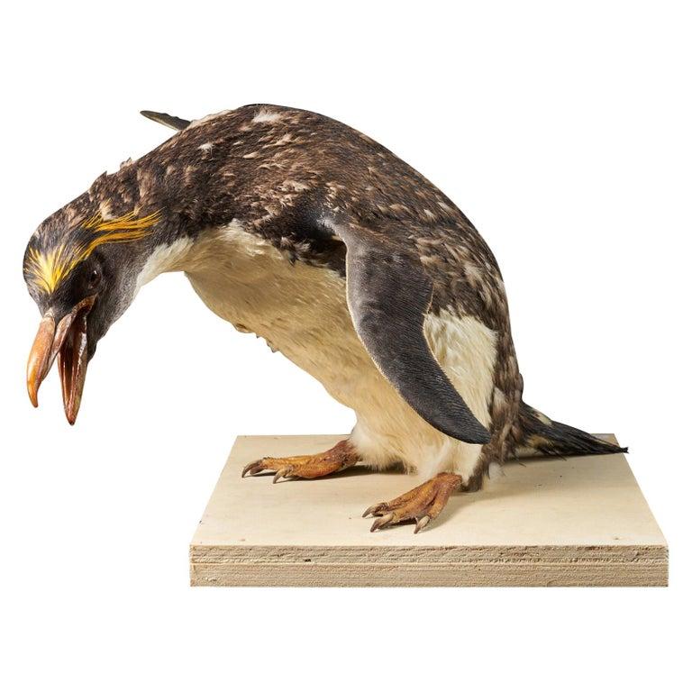 Southern Rockhopper Penguin 'Eudyptes chrysocome', NL For Sale