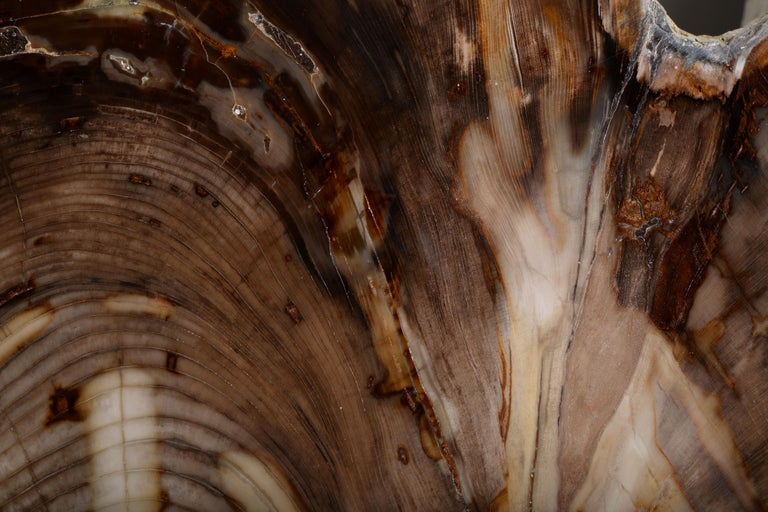 Spectacular Petrified Incense Cedar Wood Fossil For Sale 5