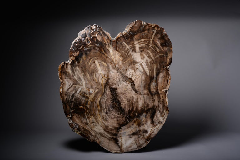 A spectacular giant cross section of petrified cedar wood from Washington, USA, dating to the Miocene, circa 23 - 5.3 Million Years before present.  A very large cross section of incense cedar wood, with a wonderful, highly aesthetic shape,