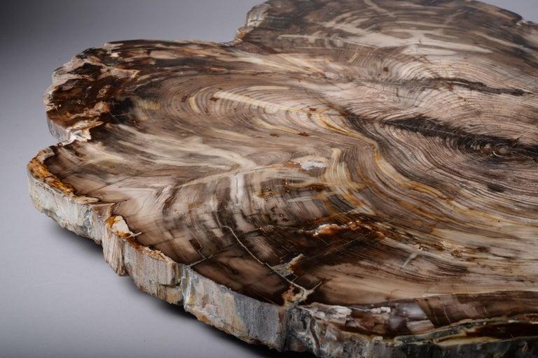 Petrified Wood Spectacular Petrified Incense Cedar Wood Fossil For Sale