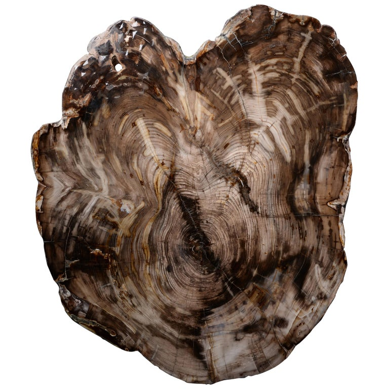 Spectacular Petrified Incense Cedar Wood Fossil For Sale