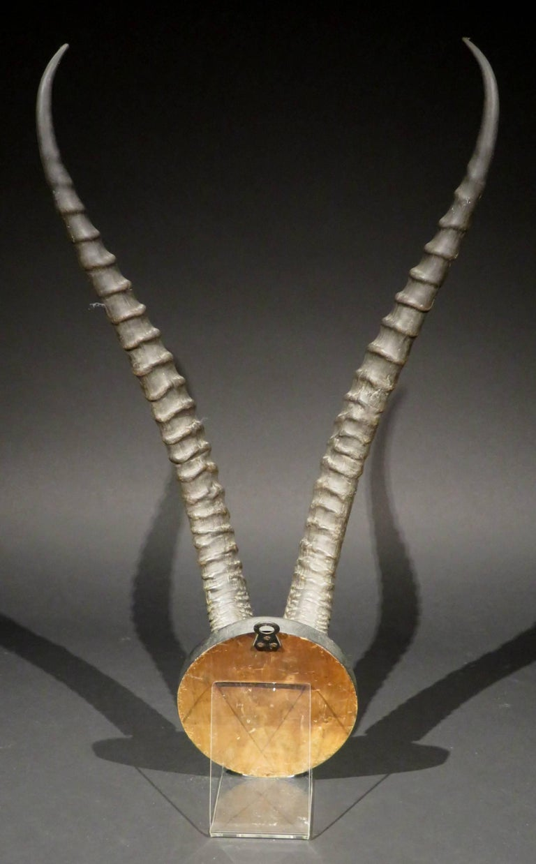 South African Sporting Trophy of Blesbok Horns, South Africa, circa 1960 For Sale