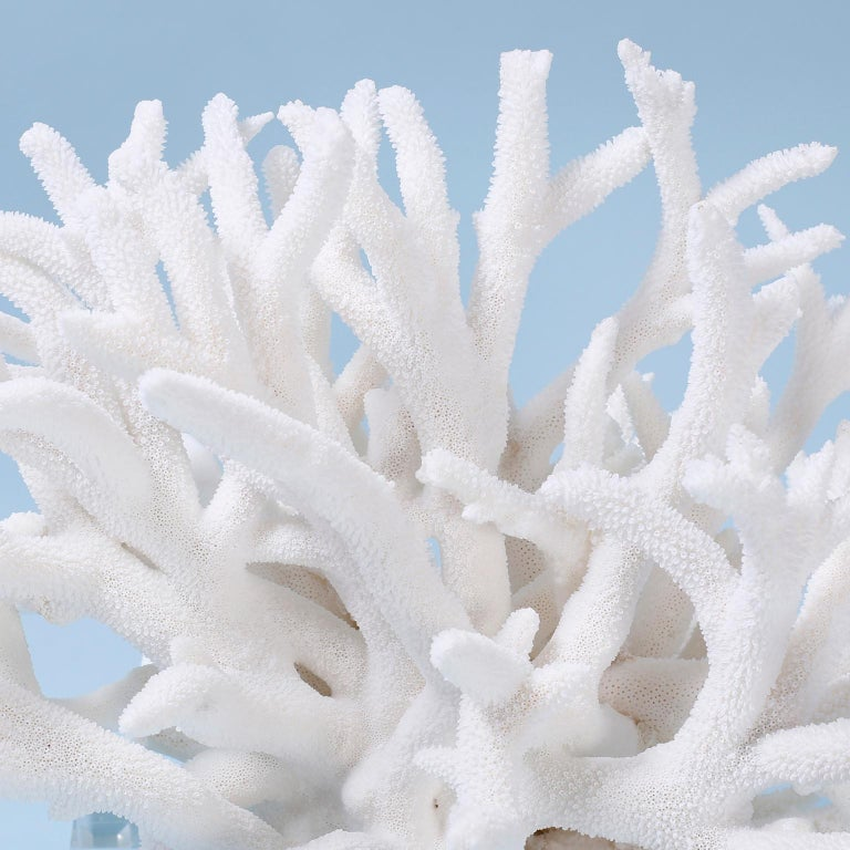 Organic Modern Staghorn Coral Sculpture on Lucite For Sale