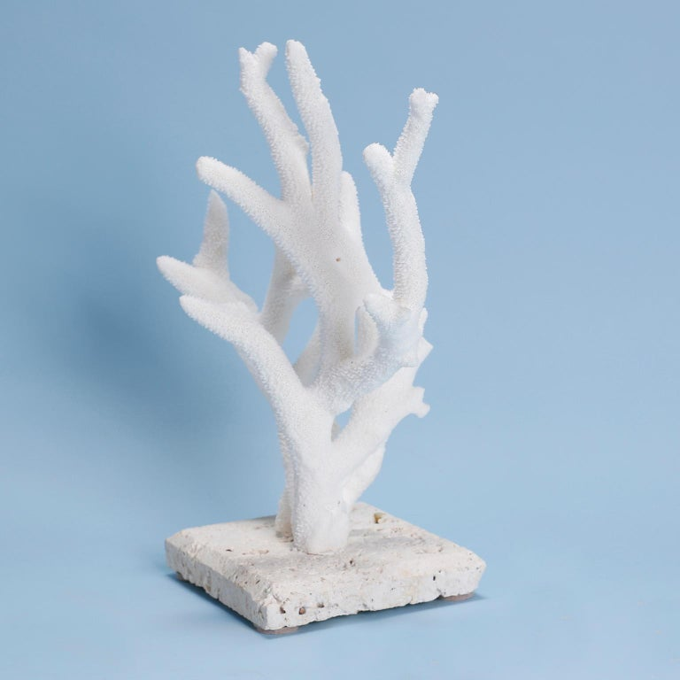 Authentic staghorn coral specimen with its clean bleached white color and organic textural form. Presented on a coquina stone base. This item cannot be exported out of the USA, without expensive permits, in the range of $3,000.