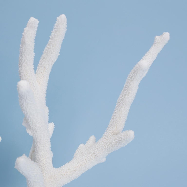 Organic Modern Staghorn Coral Specimen on Coquina For Sale