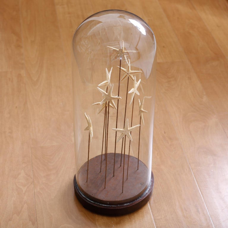20th Century Starfish in a Vintage Glass Specimen Dome For Sale