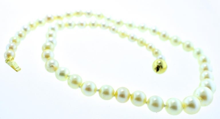 Contemporary Strand of Fine Cultured Akoya Pearls with a Gold Clasp For Sale