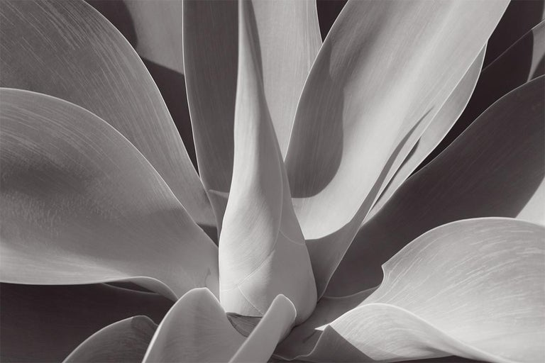 Stuart Möller Black and White Photograph - (GIANT Oversize) 'Agave Serenity'  SIGNED, Limited Edition