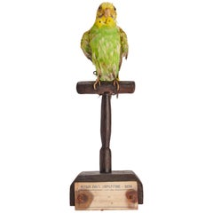 Stuffed Bird for Natural History Cabinet, Siena Italy, 1880