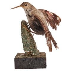 Stuffed Bird for Natural History Cabinet, Siena, Italy, 1880